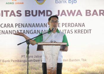 Foto: Gubernur Jawa Barat (Jabar) Ridwan Kamil saat menghadiri tanam perdana komoditas jahe di Desa Manyingsal, Kecamatan Cipunagara, Kabupaten Subang